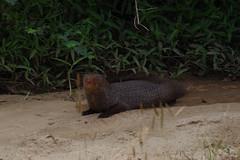 Mongoose Herpestes (ahmad al-shawaf) Tags: mongoose pentax pentaxk1 photography animal animals herpestes nature srilanka yala national park