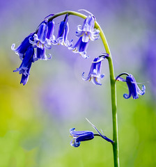 A simple bluebell (sailor4242@rocketmail.com) Tags: bluebell england europe flower hampshire location micheldever nature tree unitedkingdom