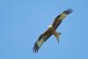 Red Kite 5 (Hugobian) Tags: red kites kite bird birds nature wildlife fauna flight flying raptor pentax k1 stilton