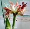 Amaryllis #7 Close up on living room table 19th April 2018 (D@viD_2.011) Tags: amaryllis 7 close up living room table 19th april 2018