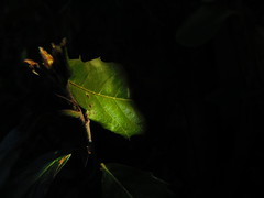 Dark Lit Leaf 21-04-2018 (gallftree008) Tags: dark lit leaf 21042018 swords codublin ireland county classic co dublin dub eire eireann effect fingal greenery green irish illumation illuminated leaves lights light lightingeffects nature naturesbeauties naturescreations tree trees bush bushes underthetrees under amazingnature macro