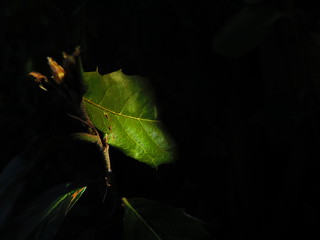 Dark Lit Leaf 21-04-2018