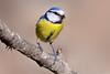 Chapim azul - Blue tit - Parus caeruleus (Yako36) Tags: portugal arrábida ave bird birdwatching nature natureza nikon200500 nikond7000