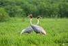 Sarus Cranes (mathewindelhi) Tags: sarus cranes india delhi bird birds wild wildlife nature