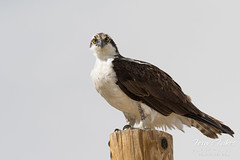 Female Osprey paying close attention