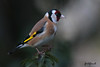 GOLDFINCH // CARDUELIS  CARDUELIS  ( 14cm (tom webzell) Tags: naturethroughthelens