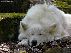 DSCN8382_3.2_reduziert_komprimiert (patric.gangler) Tags: tierfotografie animalsphotography wolf polarwolf wolfpark nikonfotografie nikonphotography nikonphotographers nikon coolpix b500