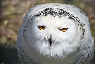 Snowy Owl close-up