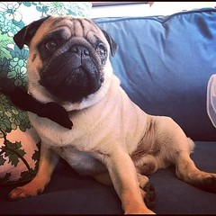 #Repost @kjelleddie ・・・ Chippendales next! 🔥🔥🔥 : : : #crazypants #dog #dogs #dogstagram #dogsofinstagram #doglove #pug #pugs #pugstagram #pugsofinstagram #pugsnotdrugs #dailydog #photooftheday #love #sexy #chippendales #obsessedwithpugs #da (FluffWonderland) Tags: perfect dogs photooftheday bowtie dogsofinstagram dogstagram ilovemydog pugloversclub darklordpug crazypants pug sexy dailypug pugs doglove obsessedwithpugs hunk pugstagram mydogisthecutest dog pugsnotdrugs chippendales pugsofinstagram love dailydog repost