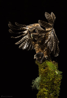 Mottled Owl (Ciccaba virgata) hunting at night