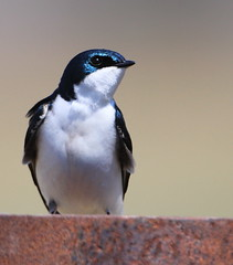 Hirondelle bicolore (Marie-Helene Levesque) Tags: oiseau abitibi valdor stedmond hirondelle hirondellebicolore mariehélène mariehelene