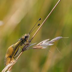 I sleep (heiserge) Tags: france pagnylablanchecôte macro nature ascalaphe insectes meuse europe lorraine macrophotographie animal animaux