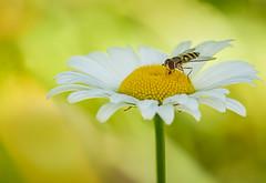 Landing zone (Yves Gauvreau) Tags: macro flowers daisy world100f