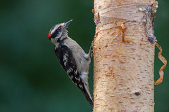 taking a moment (jimmy_racoon) Tags: canon 400mm f56l 5d mk2 downy woodpecker birds nature prime canon400mmf56l canon5dmk2 downywoodpecker