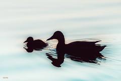 (Øyvind Bjerkholt (Thanks for 57 million+ views)) Tags: lake ducks wildlife serene newborn baby family beautiful sørsvann arendal norway canon highiso reflections silhouette