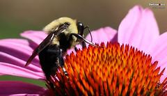 European honey bee (Apis mellifera), Pittsburgh, Pennsylvania (danniepolley) Tags: european honey bees apis mellifera