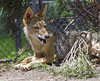 Akron Zoo 06-06-2014 - Coyote 13 (David441491) Tags: coyote canine akronzoo