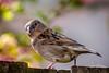 The star of the Garden (Jaap Mechielsen) Tags: bird tuin huismus fauna garden animal dier housesparrow passerdomesticus vogel