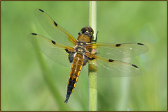 Four-spotted Chaser (image 1 of 3) (Full Moon Images) Tags: woodwalton fen greatfen bcn wildlife trust nnr national nature reserve cambridgeshire insect macro fourspotted chaser four spotted dragonfly