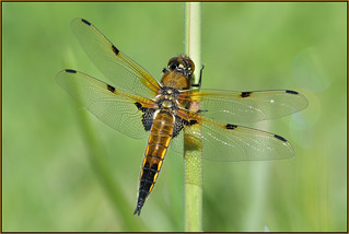 Four-spotted Chaser (image 1 of 3)