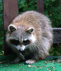 Raccoon on our deck (Karen @ Wall Flower Studio) Tags: wallflowerstudio raccoon mask creature deck wildlife ontario canada algonquinhighlands haliburton karensloan july 2018 furbaby cute nature