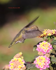 Hummingbird's sip (Victoria Morrow) Tags: droh dailyrayofhope
