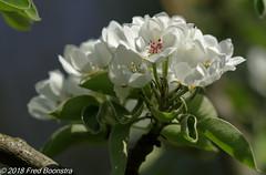 """Apple blossom"" (Fred / Canon 70D) Tags: appleblossom eefde orchardeefde boomgaardeefde ef100mmf28lmacroisusm canon70d canoneos canon spring spring2018"
