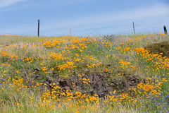 815A2738 Magical Fields of Flowers (hobbitcamera) Tags: northtablemountainecologicalreserve tabletopmountain tabletopmtn tabletopmountainorovillecalifornia orovillecalifornia flowers
