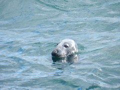 Seal, Ullapool Harbour, West Coast of Scotland, April 2018 (allanmaciver) Tags: seal ullapool west coast harbour scotland animal quick grey common water highlands watch wait hungry fish scraps allanmaciver