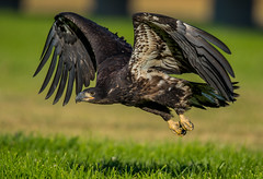 Baby eagle taking off from ground (hyu767) Tags: predators baldeagle eagle