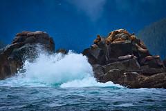 A shelter in storm (debamalya.chatterjee) Tags: sea sealion sealions sealife nikon nature naturephotography wildlife wild wildlifephotography storm rock landscape