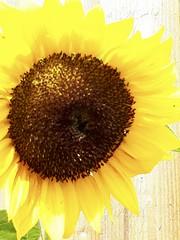 fullsizeoutput_d61 (ulf.springer) Tags: peak district grindleford froggatt stoney middleton eyam leadmill sunflower sonnenblume