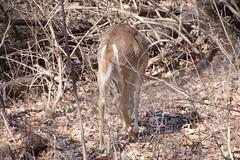 Deer at Maybury State Park (Northville, Michigan) - April 2018 (cseeman) Tags: parks stateparks michiganstateparks departmentofnaturalresources michigandepartmentofnaturalresources northville michigan maybury mayburystatepark trees trails paths nature publicparks wildlife mayburyapril2018 animals deer mayburyapril2018deer