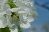 Windy Sun-Day (karinriga) Tags: windig windyday blauerhimmel bluesky sun sonne blüten blossom
