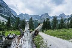 Baumstumpf (Uli - www.auf-den-berg.de) Tags: berge mountains wandern hiking outdoors tirol tyrol zugspitzarena miemingerkette holz wood alpen alps