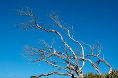 Skeleton of a tree (Marian Pollock) Tags: australia victoria tree rye burned skeleton trunk sky abstraction stark beach light shadowandlight