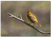 Palm Warbler (Betty Vlasiu) Tags: palm warbler setophaga palmarum bird wildlife nature
