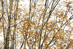 Birch. (fedoseenko) Tags: санктпетербург россия красота colour природа nature beauty blissful loveliness beautiful saintpetersburg sunny art shine dazzling light russia day green park peace tree trees blue white голубой небо лазурный color sky pretty sun view heaven mood wood autumn gold федоровский colours alley town outdoors picture осень береза birch outsidethewindow