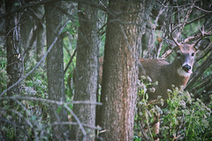 Buck (emptysoundofhate) Tags: channahon illinois deer buck antler outdoors nature trees forest woods green leaves bark tree alone isolated foliage forestry white tail canon animal