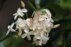 IMG_8474 (Usagi93190) Tags: macro flowers proxi botanical gardens naples florida outdoors nature plants
