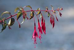 Fuschia (Rick & Bart) Tags: beeckestein nature flora flower rickvink rickbart canon eos70d macro wildflower natuur bloem beeckestijn ijmuiden nederland velsen fuschia