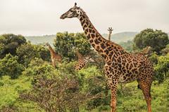 Tanzania10 (Massimo Equestre'pictures) Tags: africa tanzania leone zebra safari giraffa serengeti