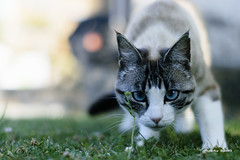 Gato de ojos azules - Gatto occhi azzurri - Blue-eyed cat (Álvarez Bonilla) Tags: green verde blanco bianco white nero black negro gris gray grigio gato cat gatto hierba grass erba mirada sguardo look