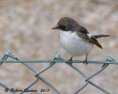 European Pied Flycatcher  5 (Robert Epstein) Tags: birds eurasainpiedflycatcher flycatchers spain tarragonacountycataluna wildlife