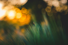 Saurons Spider (der_peste (on/off)) Tags: spider bokeh dof bubbles insect grass field rhye grain corn soft blur sunset sundown