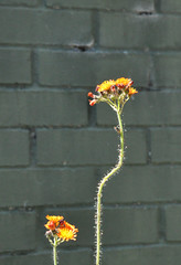changeofmind (devonpaul) Tags: parallel wonky orange hawkweed weed green wall brick change mind bugs