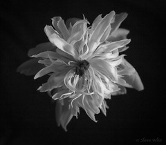 Pink Paeonia (shawn~white) Tags: 35mm bw blackandwhite paeonia flower paeony peony