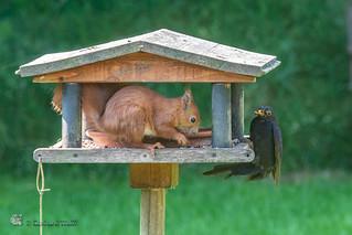 Turdus merula, ♂, Black bird - ... I'm waiting, ...