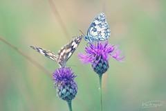 Gemini (Melanargia galathea) (Veitinger) Tags: flickrfriday gemini zwillinge blume blumen flower flowers schmetterling schmetterlinge butterfly butterflies natur nature veitinger helios helios442 pastell