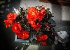 Flowing Well (Jocey K) Tags: begonias newzealand christchurch nikond750 flower plants fag